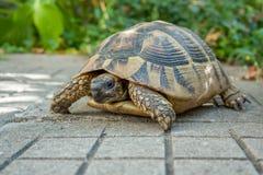Sköldpadda i trädgården Arkivfoton