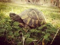 Sköldpadda i växten av släktet Trifolium arkivbild
