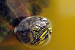 Sköldpadda i vatten Arkivfoton