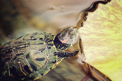 Sköldpadda i vattnet Royaltyfria Bilder