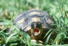 Sköldpadda med dess öppna mun royaltyfri bild