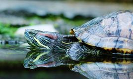 Sköldpadda med relfection Royaltyfri Foto