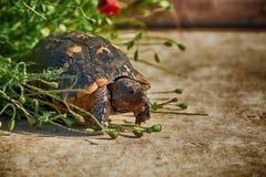 Sköldpadda medelhavs- Grekland Royaltyfri Fotografi