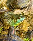 Sköldpadda och groda inom den Zhanshan templet royaltyfri fotografi