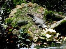 Sköldpadda och krokodil arkivbild