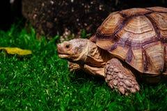 Sköldpadda på den gröna ängen Fotografering för Bildbyråer