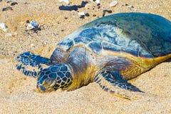 Sköldpadda på den hawaianska stranden fotografering för bildbyråer