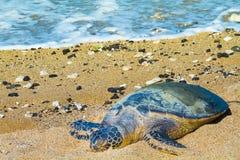 Sköldpadda på den hawaianska stranden royaltyfria foton