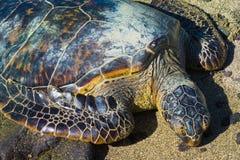 Sköldpadda på den hawaianska stranden royaltyfria bilder