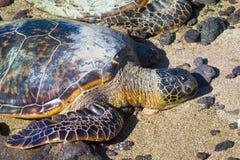Sköldpadda på den hawaianska stranden arkivbilder