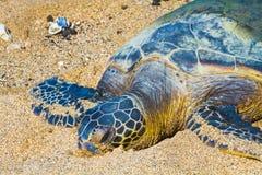 Sköldpadda på den hawaianska stranden arkivbild