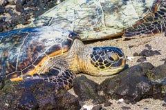 Sköldpadda på den hawaianska stranden arkivfoto