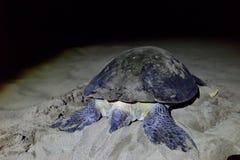 Sköldpadda på den Sukamade stranden, Indonesien Royaltyfri Foto