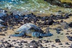 Sköldpadda på den vulkaniska stranden arkivbilder