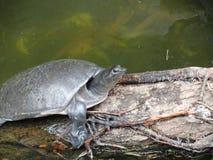 Sköldpadda på en journal, långsamt och stadigt fotografering för bildbyråer