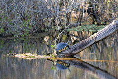 Sköldpadda på en journal - reflexion i vattnet Royaltyfria Bilder