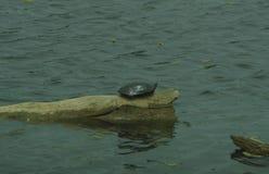 Sköldpadda på en logga royaltyfri bild