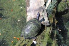 Sköldpadda på en logga Arkivfoton