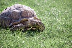 Sköldpadda på gräs Arkivfoton