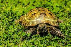 Sköldpadda på gräset Arkivbild