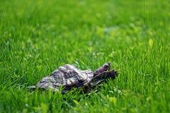 Sköldpadda på gräsmattan Arkivbild