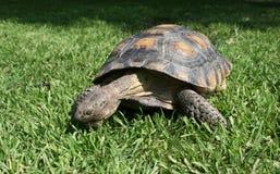 Sköldpadda på grönt gräs Arkivbilder