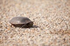 Sköldpadda på grus Arkivfoto