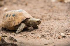 Sköldpadda på jordning i natur Arkivbilder
