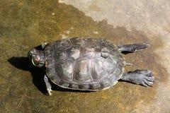 Sköldpadda på jordningen Royaltyfri Bild