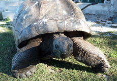 Sköldpadda på kringstrykandet Royaltyfri Foto