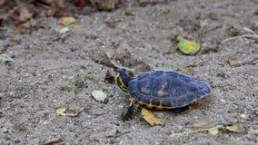 Sköldpadda på sand arkivfilmer