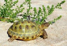 Sköldpadda på sanden. Arkivfoton