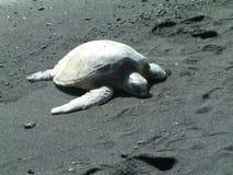 Sköldpadda på svart Sandstrand Arkivfoto