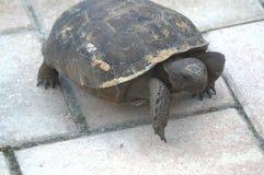 Sköldpadda på tegelplattan Royaltyfri Fotografi
