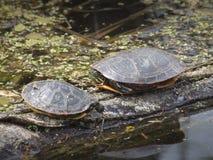 Sköldpadda på trä Royaltyfri Foto