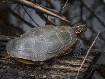 Sköldpadda på trä Fotografering för Bildbyråer