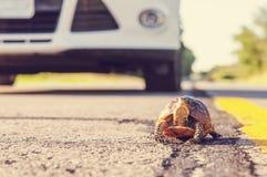 Sköldpadda på vägen Arkivfoto
