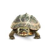 Sköldpadda på vit Royaltyfri Foto
