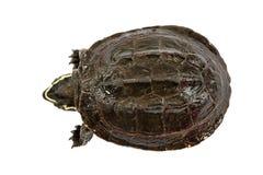 Sköldpadda på vitbakgrund Arkivfoton