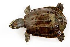 Sköldpadda på vitbakgrund Arkivbilder