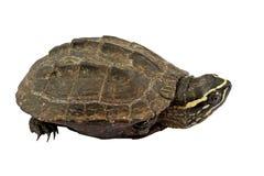 Sköldpadda på vitbakgrund Royaltyfria Foton
