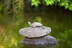 Sköldpadda som är liten på en sten Royaltyfria Bilder
