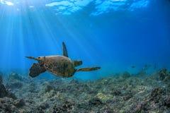 Sköldpadda som är undervattens- mot blåttreven arkivfoto