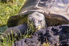 Sköldpadda som äter gräs på zoo arkivfoto