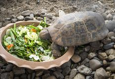 Sköldpadda som äter grönsaker från a arkivbild
