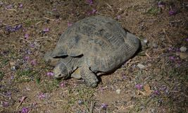 Sköldpadda som äter Judas-träd blommor Arkivbilder