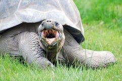 Sköldpadda som äter med den öppna munnen Fotografering för Bildbyråer