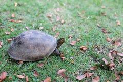 Sköldpadda som går i trädgård Royaltyfria Bilder