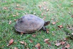 Sköldpadda som går i trädgård Royaltyfri Foto