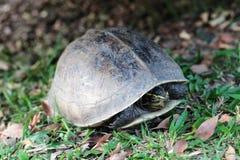 Sköldpadda som går i trädgård Arkivbild
